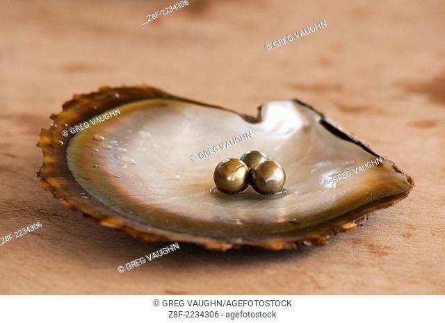 Pearls on oyster shell at Civa Fiji Pearls Ltd., Taveuni, Fiji