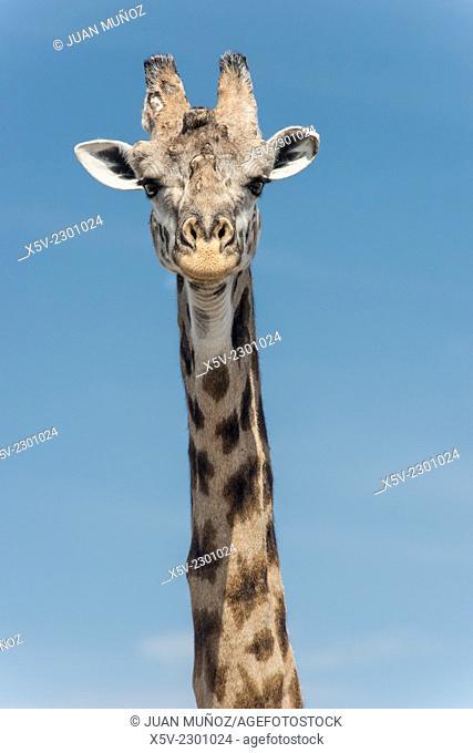 Giraffe. Close-up. Front Vision.Giraffa camelopardalis. Masai Mara NP