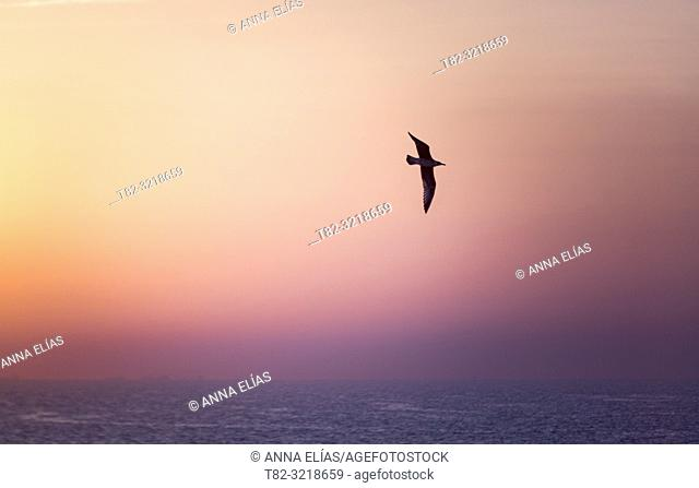 Seagull flying over Matalascañas beach, Huelva Province, Andalusia, Spain
