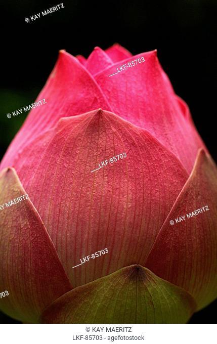 Close up of a Lotus bud, Hotel Pimalai, Ao Kantiang, Ko Lanta, Thailand