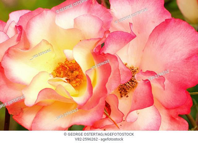 Birthday Girl rose, Heirloom Roses, St Paul, Oregon