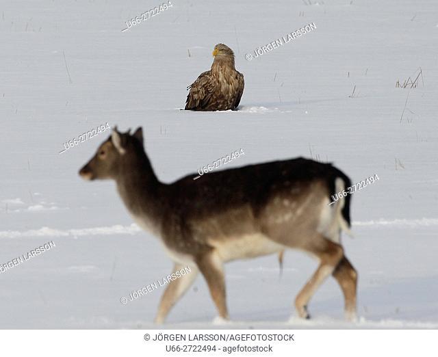 Fallow deer (Dama dama) with sea eagle