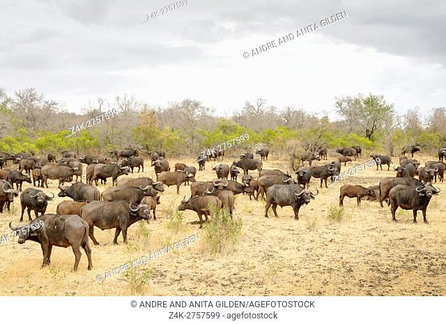 Herd of African buffalo (Syncerus caffer) on a cloudy day, Kruger National Park, South Africa