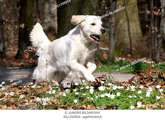 Golden Retriever. Bitch (2 years old) running over flowering Wood Anemones. Germany