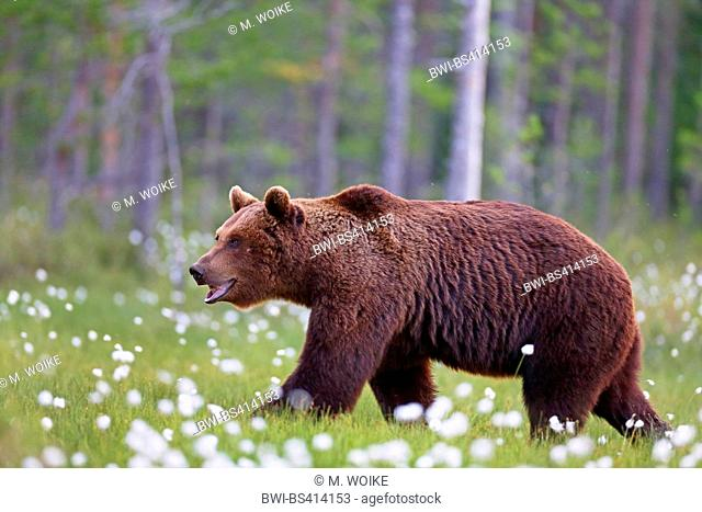 European brown bear (Ursus arctos arctos), walking in a swamp with cotton grass, Finland, Vartius