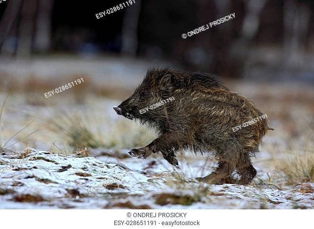 Running young Wild boar, Sus scrofa