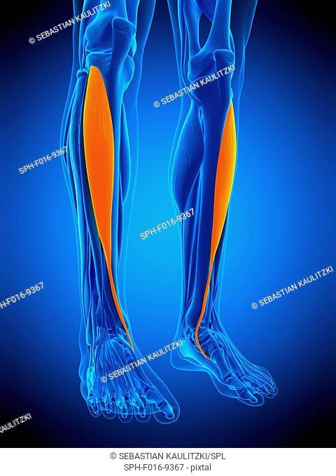 Illustration of the tibitalis anterior muscle