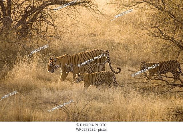 Tigress with cubs Panthera Tigris Bengal tiger in dry grasslands of Ranthambore Tiger reserve national park , Rajasthan , India