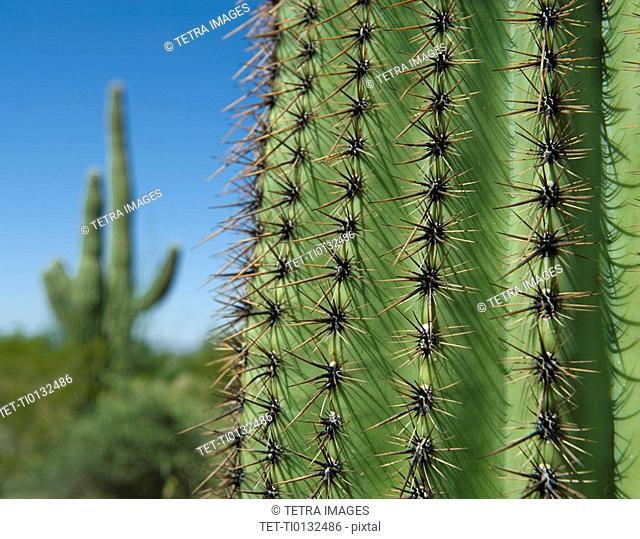 Close up of Saguaro Cactus, Saguaro National Park, Arizona