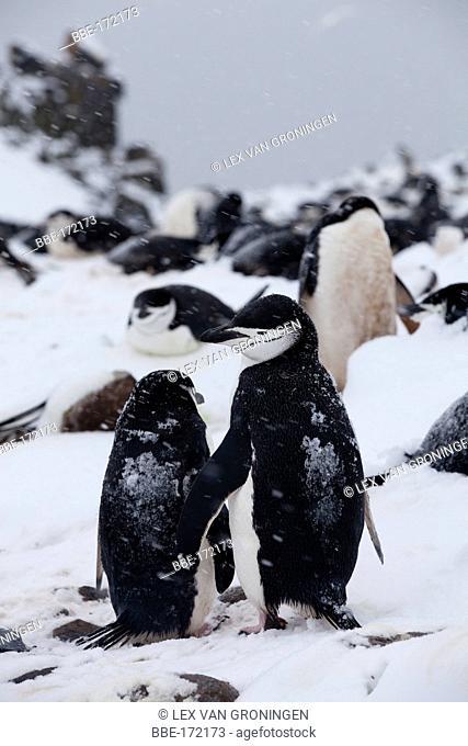 Courting Chinstrap Penguins (Pygoscelis antarctica) at Half Moon Island (South Shetland Islands, Antarctica)