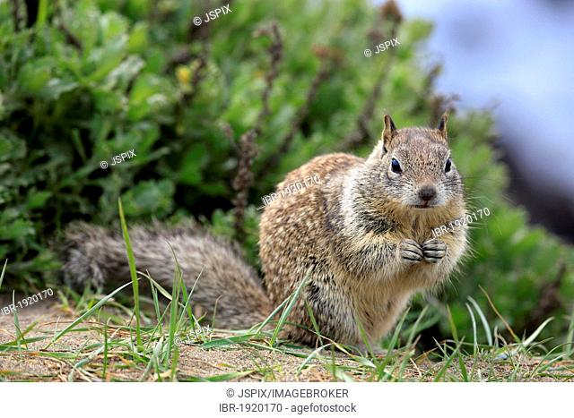 California ground squirrel (Spermophilus beecheyi), adult, alert, Monterey, California, USA, America