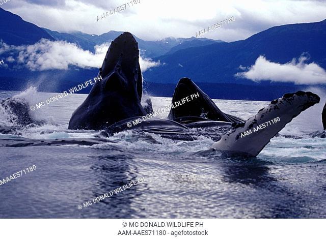 Humpback Whale Bubblenet Feeding (Megaptera novaeangliae), AK