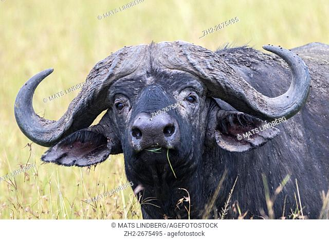 Portrait of a big Buffalo, with grass in his mouth, looking in to the camera, Masai mara, Kenya, Africa,