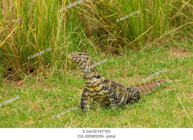 Nile Monitor Lizard (Varanus niloticus), Lizard, Murchison Falls National Park, Uganda