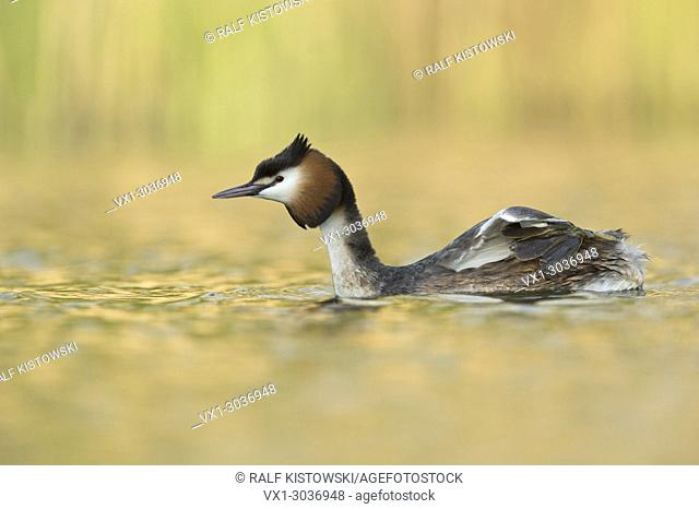Great Crested Grebe ( Podiceps cristatus ) shows his lobed toes placed on its back while swimming over nice coloured water