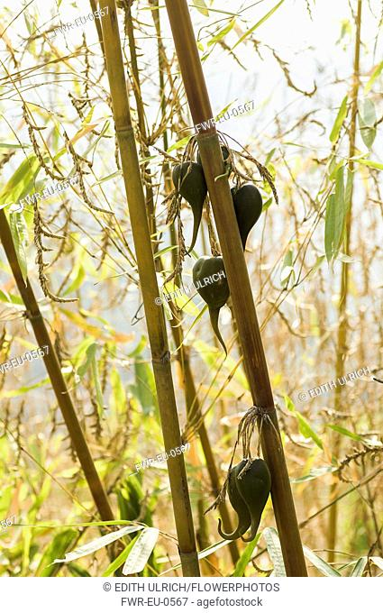 Bamboo, Bambusa cultivar, Rare bamboo fruit hanging from stems, usually flowers every 50 years