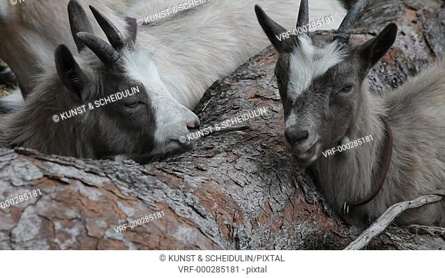 Two young goats are resting together with their mother between the roots of a large pine tree. They're ruminating. Sundsvall, Västernorrlands Län, Sweden