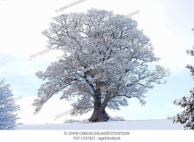 Winter scene - Snow on mature oak Quercus - Hereforeshire - UK - December 2010