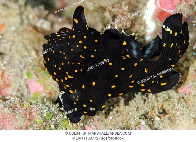 Black Painted Frogfish with orange spots Batu Sandar dive site, Lembeh Straits, Sulawesi, Indonesia