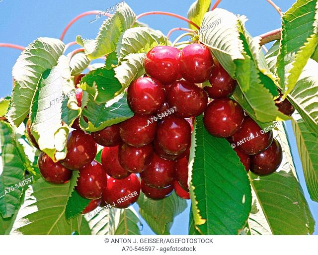 Cherries, Fricktal, Aargau, Switzerland