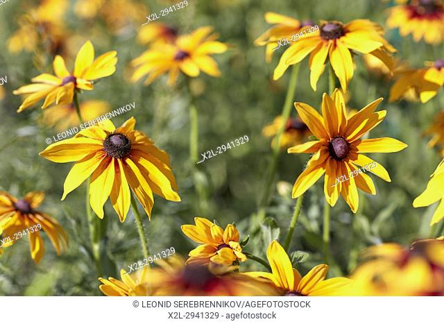 Rudbeckia flowers. Scientific name: Rudbeckia hirta