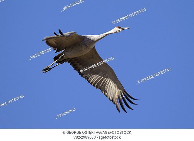 Sandhill crane in flight, Bosque del Apache National Wildlife Refuge, New Mexico