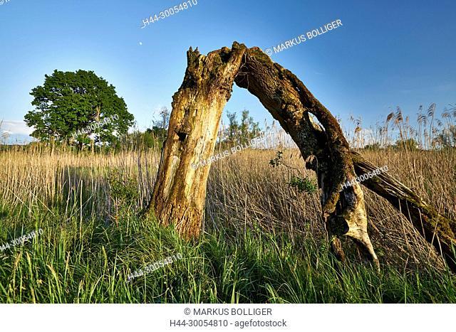 NSG, Wengimoos, nature reserve, dead wood, reeds, reed, Röhricht, Schilfröhricht, oak, Quercus, handle oak, Quercus robur, dry stand, sky, blue, reed belt