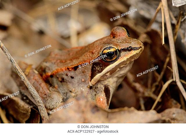 Wood frog (Lithobates sylvaticus or Rana sylvatica), Greater Sudbury, Ontario, Canada