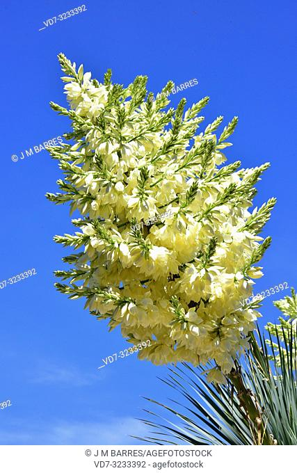 Beaked yucca (Yucca rostrata) is an arborescent plant native to southwestern USA and north Mexico. Inflorescences and leaves detail