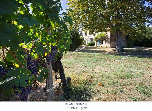 Grapes on vine in vneyard with typical French house in background