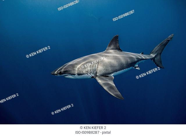 Underwater view of white shark swimming in blue sea, Campeche, Mexico