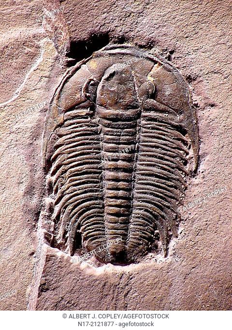 Marjumia is a Cambrian Period trilobite of Utah