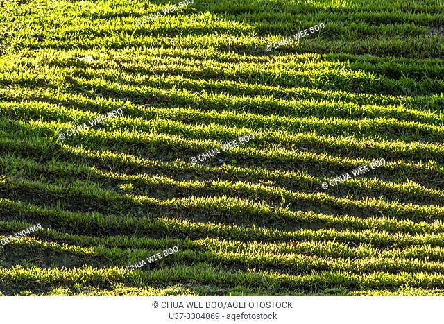 Lights and shadows of grasses at late afternoon around Jalan Uplands, Kuching, Sarawak, Malaysia