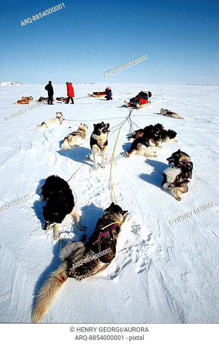Dogsled teams rest during trip across Frobisher Bay, Baffin Island, Nunavut, Canada