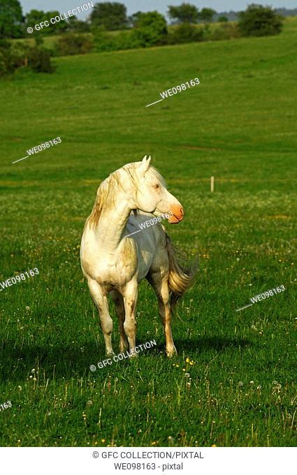 Hanoverian stallion, gray horse, on the pasture