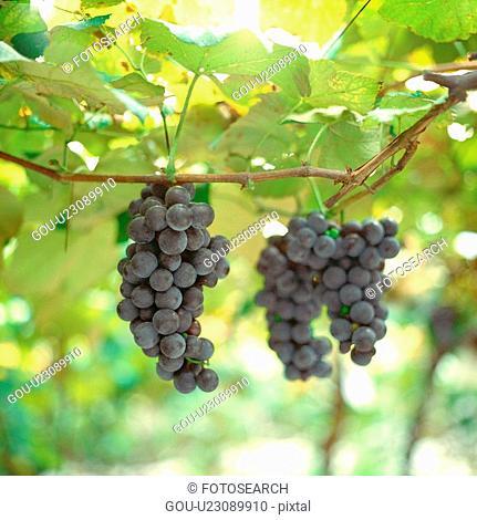 grapes, plants, plant, grapevine, film