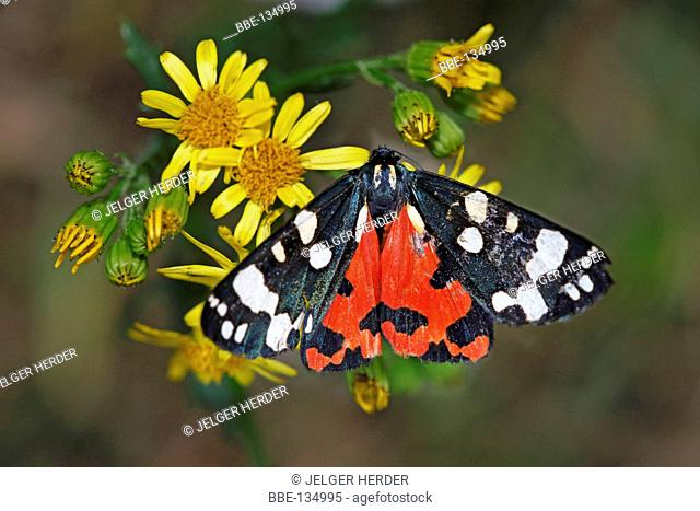 photo of a scarlet tiger on ragwort