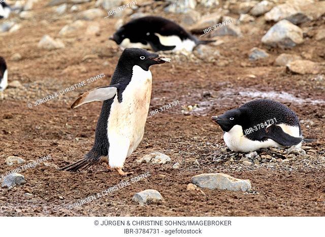 Adelie Penguins (Pygoscelis adeliae) adult with nesting material, breeding colony, Devil Island, Antarctica