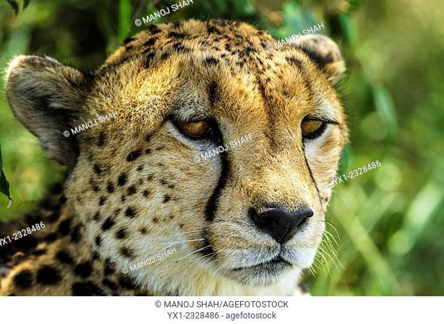 Cheetah in shade, Masai Mara National Reserve, Kenya
