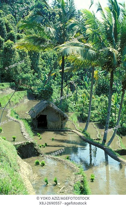 bali, indonesia, rice terrace