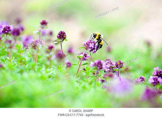 Thyme, Mother of thyme, Thymus praecox, Close side view of some flowers rising above soft focus foliage with a bee collecting nectar from one flower