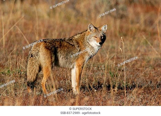 Side profile of a coyote standing in a field, Yellowstone National Park, Wyoming, USA Canis latrans