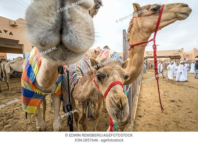 Close up view of covered camels at the Al Ain Camel Market in Abu Dhabi, UAE
