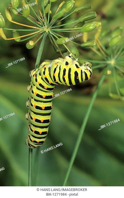 Old World Swallowtail (Papilio machaon) caterpillar feeding on seed capsule of dill