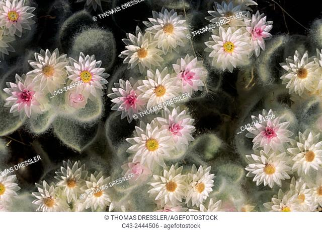 South-West Edelweiss (Helichrysum roseo-niveum) - Damaraland, Namibia