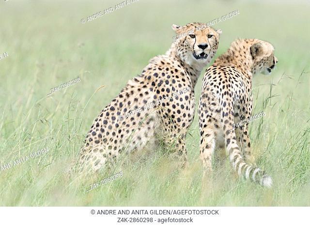 Two Cheetah (Acinonix jubatus) on the look out at savanna, Maasai Mara National Reserve, Kenya