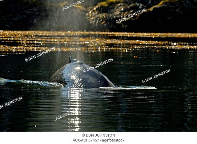 Humpback Whale (Megaptera novaeangliae) Feeding in Carpenter Bay, Haida Gwaii (Queen Charlotte Islands) Gwaii Haanas NP, BC, Canada