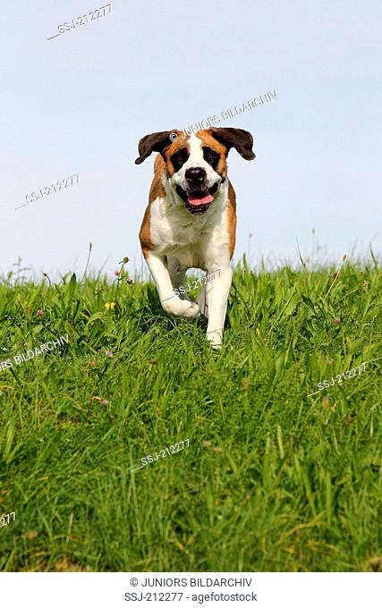 St. Bernard Dog. Adult dog walking on a meadow. Germany