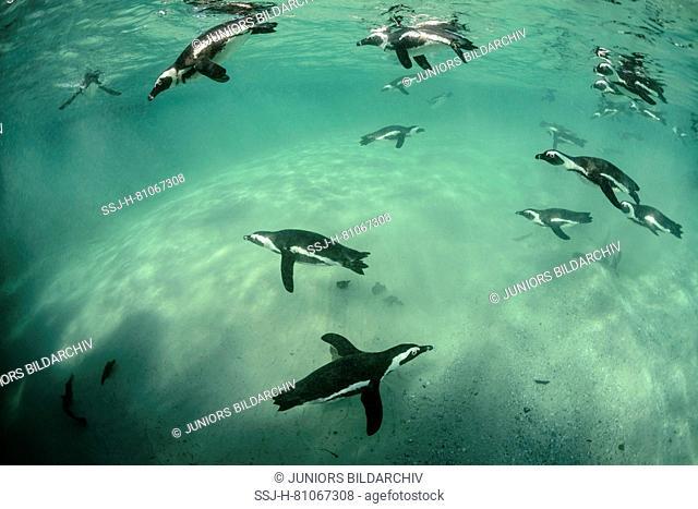 African Penguin (Spheniscus demersus). Group hunting under water. Boulders Beach, South Africa