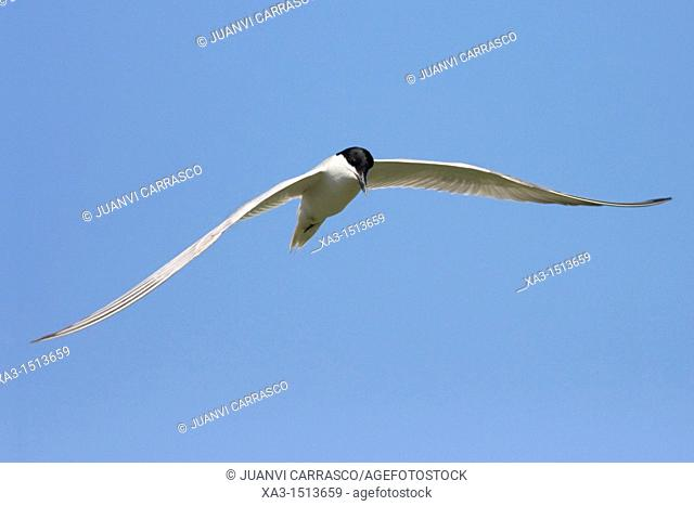 Gull-billed Tern, Gelochelidon nilotica, in flight, La Albufera natural park, Valencia, Spain